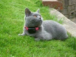 British blue cat wearing cat fence collar in garden.